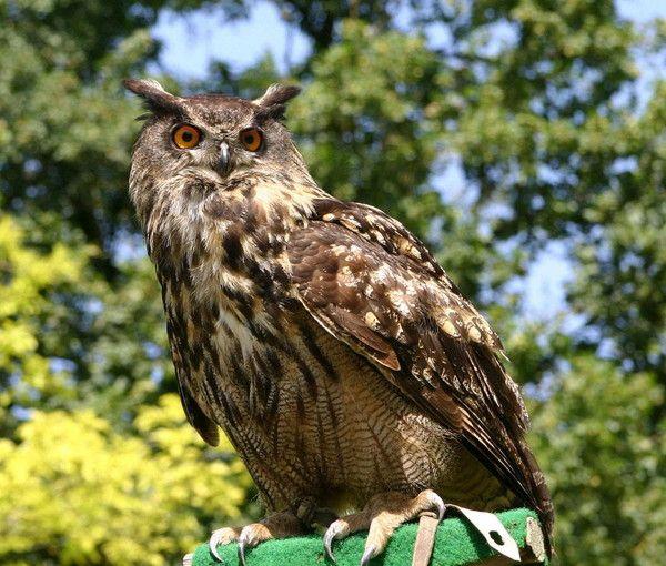 Animaux - Oiseaux - Le Hibou Grand Duc