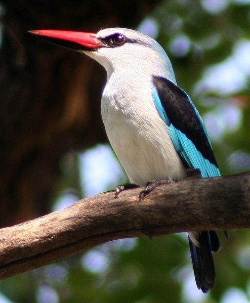 494px-woodlandkingfisher-13f1d94.jpg