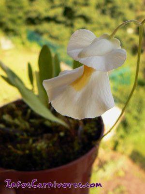 Les plantes carnivores - Les Utriculaires (Utricularia)