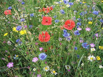 Au jardin - Quelques fleurs poussant sans eau (ou presque)