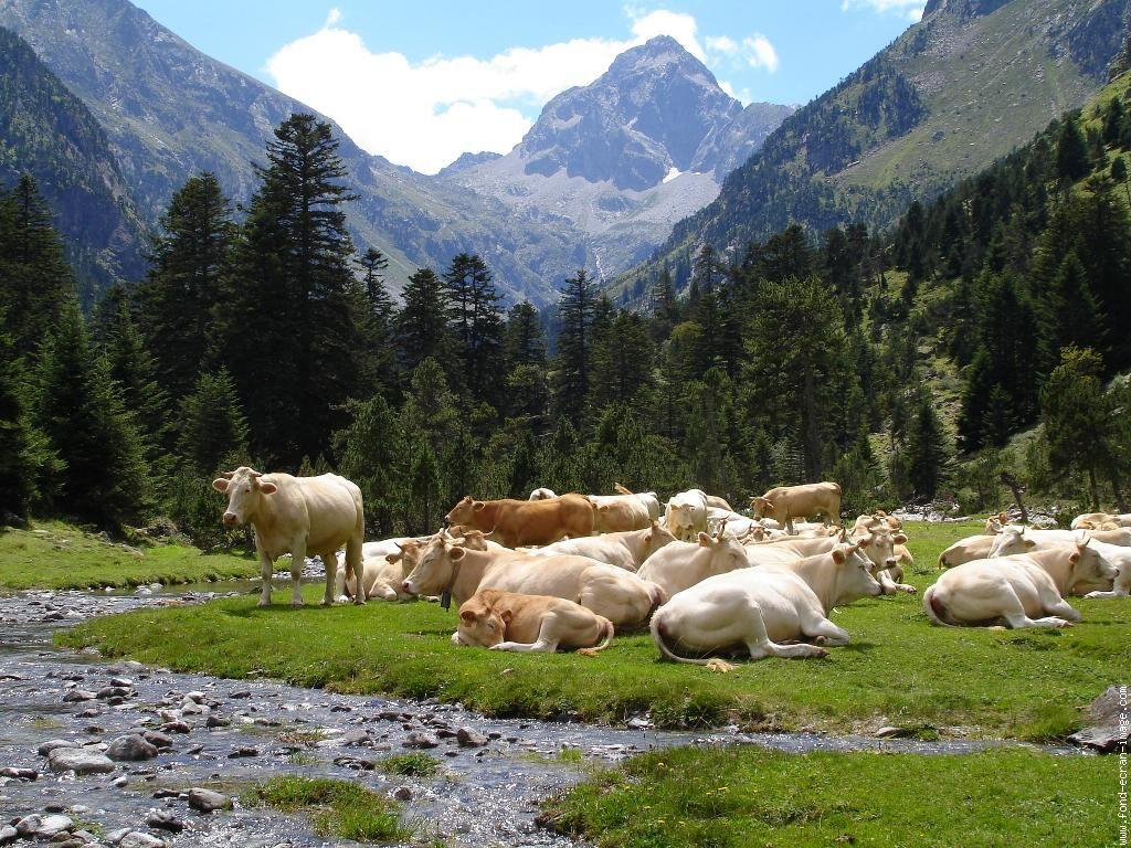 Les surprises de l'Ecologie - Profusion de vaches dans les alpages