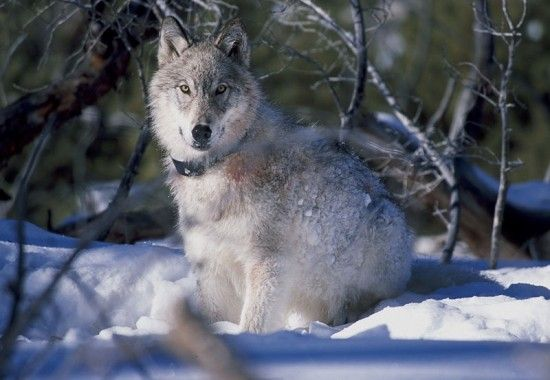 Animaux - Le Loup - Les loups de Yellowstone