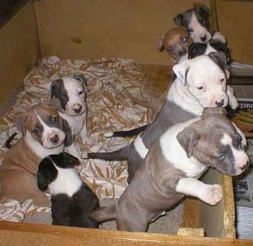 animaux de compagnie-Chiens-American Staffordshire terrier