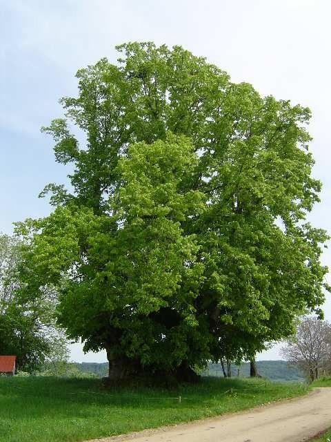 Arbres et arbustes-remarquables-tilleul de Grange-Sauvaget