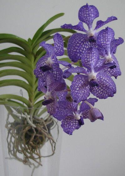 orchidee sans terre