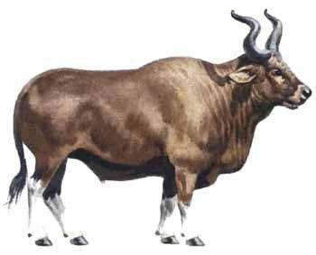 Animaux préhistoriques - L' Aurochs -
