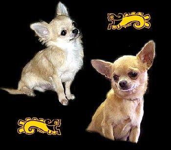 Animaux de compagnie - chiens - Le chihuahua -