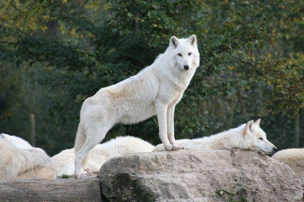 Animaux- le loup - Le loup arctique -