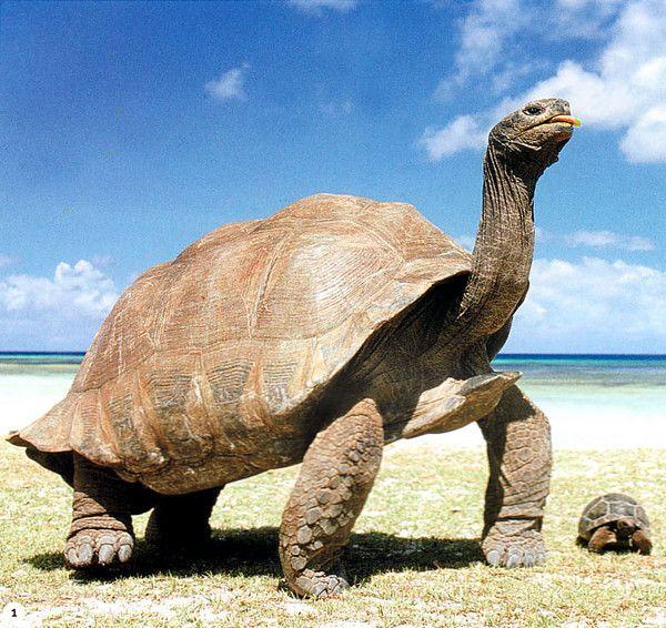 Tortues - tortue terrestre - Tortue géante des Seychelles -