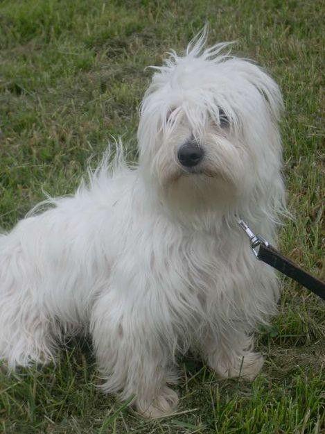 Animaux de compagnie - chiens - Bichon maltais