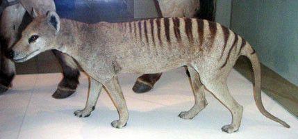 Animaux - Marsupiaux - Loup marsupial ou tigre de Tasmanie -