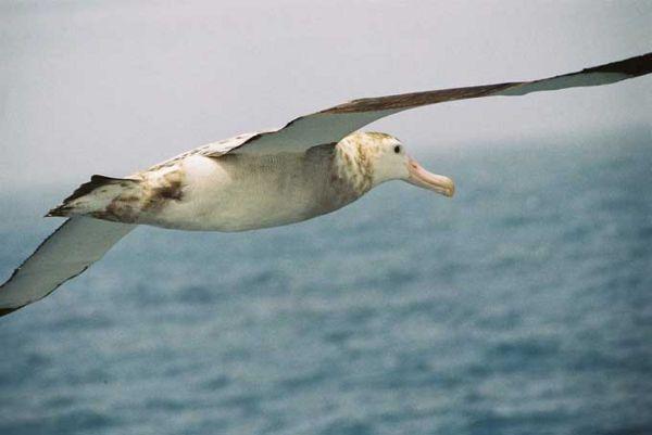600px-Albatros_hurleur03.jpg