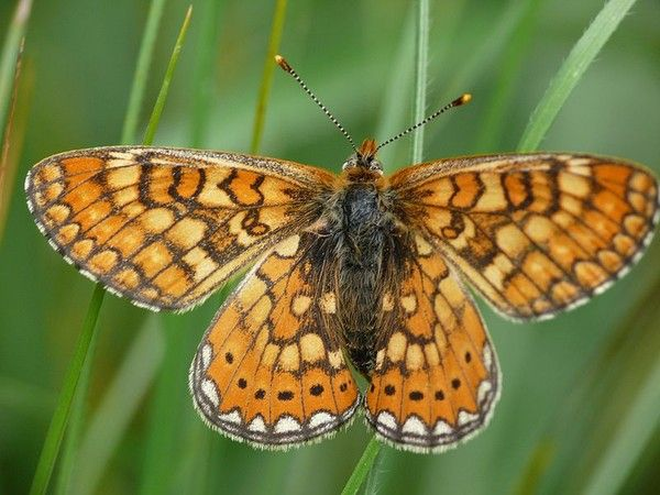 Animaux - Insectes - Papillon - Damier de la succise -