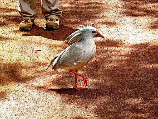 Animaux - Espèces menacées - Le Kagou huppé -