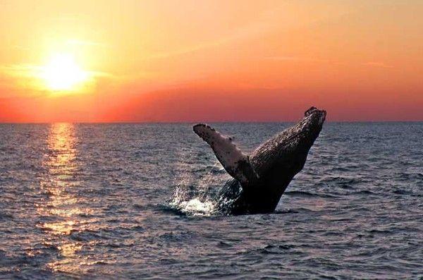 Monde marin - La baleine à bosse -