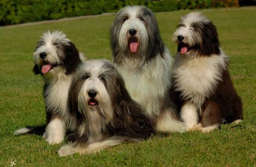 animaux de compagnie  - chiens - Le Bearded collie -