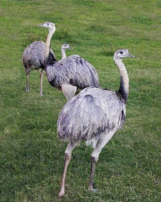 Animaux - Oiseaux - le nandou -