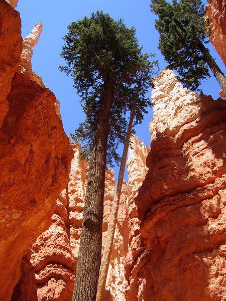 Parcs, réserves... - Bryce Canyon - Flore -