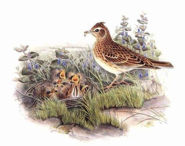 Animaux - Oiseaux - L'alouette des champs -