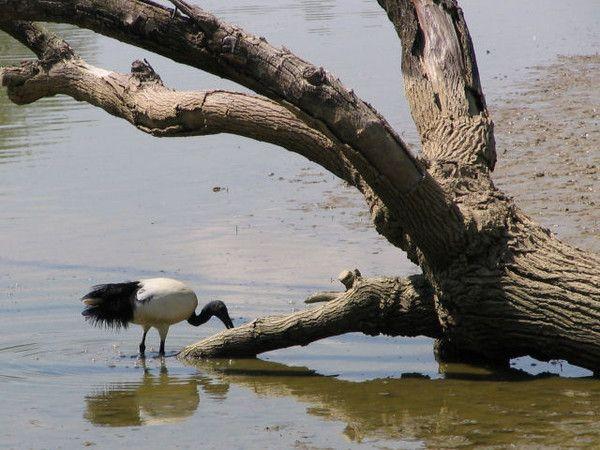 Animaux - Oiseaux - L'Ibis sacré -
