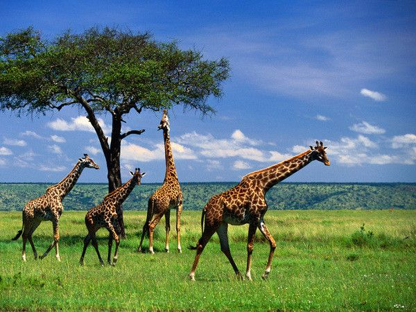 Mammifères - La Girafe -