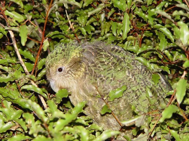 71-kakapo-strigops-habroptila-c2a9wikic-showing-camaflage.jpg