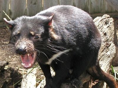 Animaux- Marsupiaux - Diable de Tasmanie -