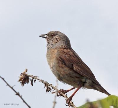 Animaux - Oiseaux - L'accenteur mouchet -