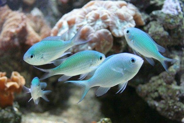 aquariophilie eau de mer - Les demoiselles -