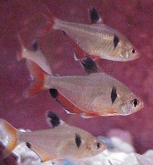 aquariophilie eau douce - characidés -