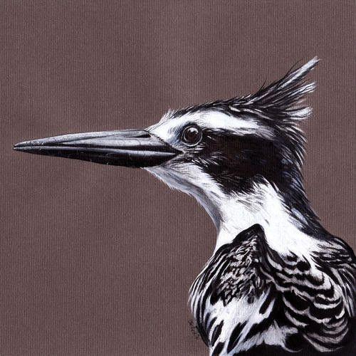 Animaux - Oiseaux - L'alcyon pie -
