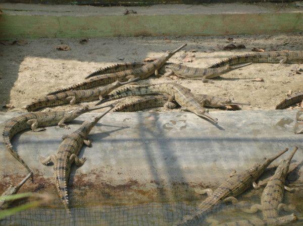 Animaux - Crocodiliens - Le Gavial du Gange