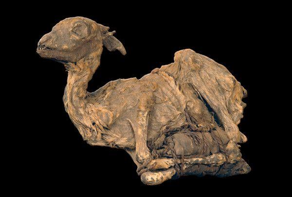 Archéologie - Momie animale d'Egypte