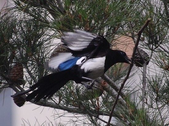 Animaux - Oiseaux - La pie -