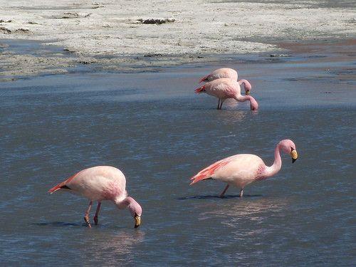 Animaux - Oiseaux - Le flamant rose -
