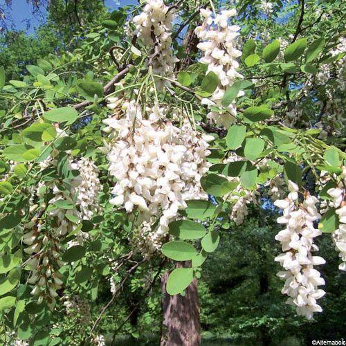 Arbres et arbustes - Le robinier ou faux acacia