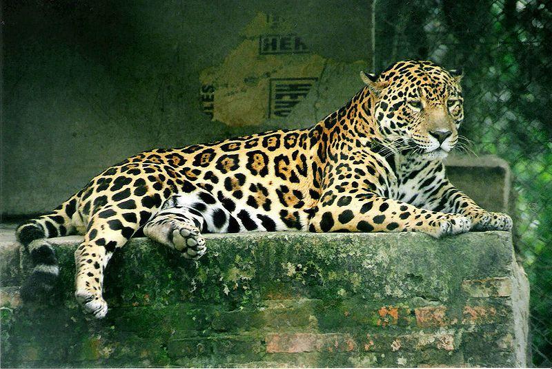 800px-Panthera_onca.jpg