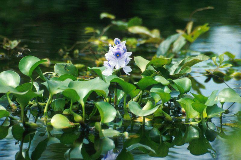 800px-water_hyacinth-13f205a.jpg