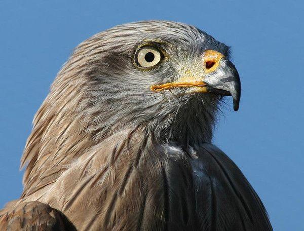 Animaux - Oiseaux - Le Milan noir -