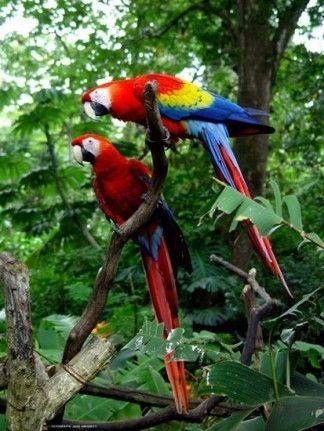 Animaux - Oiseaux - Le perroquet -