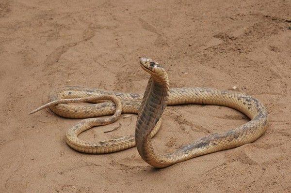 Animaux - Serpent - Serpent dans histoire -