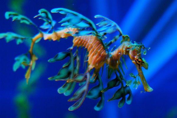 Monde marin - Le dragon de mer -