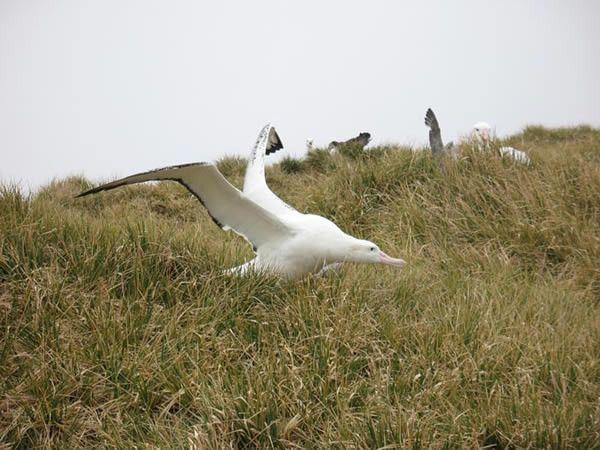 Animaux - Oiseaux - L'Albatros hurleur -