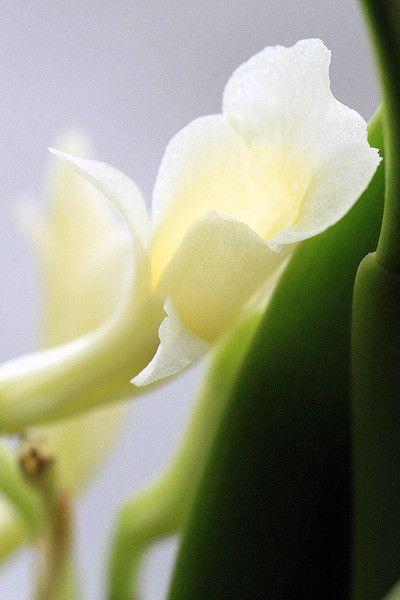 Orchidées - Trichopilia fragrans -