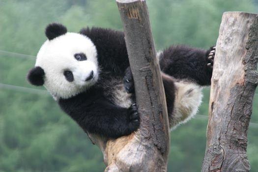 Animaux - Ursidés - Le panda -
