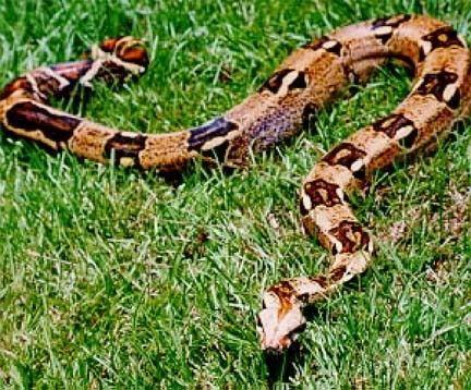 Animaux - Serpents - Boïdés - Boa constricteur -