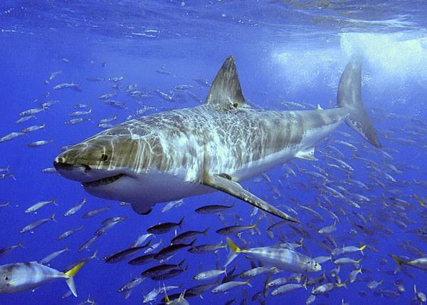 Animaux - Espèces menacées - Grand requin blanc -
