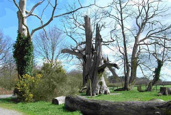 Arbres et arbustes- remarquables-Le chataignier d'Abbaretz