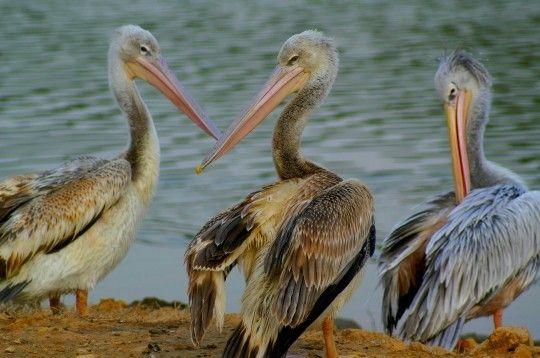 Animaux - Oiseaux - le pélican -