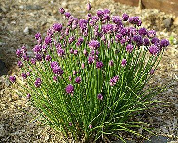 Plantes et herbes aromatiques - la ciboulette -